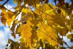 Colorful Autumn Grape Leaves. Rich colored vine leaves on a sunny autumn day Royalty Free Stock Photography