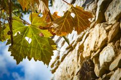 Colorful Autumn Grape Leaves. Rich colored vine leaves on a sunny autumn day Royalty Free Stock Image