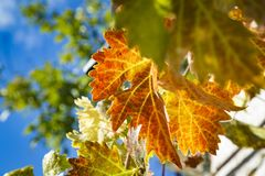 Colorful Autumn Grape Leaves. Rich colored vine leaves on a sunny autumn day Royalty Free Stock Photos