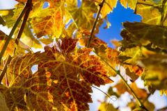 Colorful Autumn Grape Leaves. Rich colored vine leaves on a sunny autumn day Stock Images