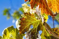 Colorful Autumn Grape Leaves Stock Image