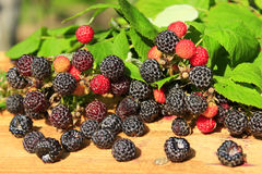 Rich crop of black raspberry with berries on the boards Royalty Free Stock Photo