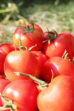 Rich crop of red tomatoes Royalty Free Stock Photo