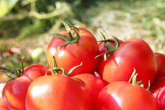 Rich crop of red tomatoes Royalty Free Stock Photos
