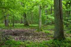 Rich deciduous forest in springtime Royalty Free Stock Photo