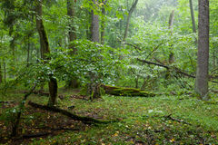 Rich deciduous stand in rain Stock Photos