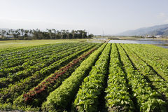 Rich Farmland, vegetable field. Vegetables growing in a flat bottom valley. This is rich farmland, also growing is rice and palm trees stock photography