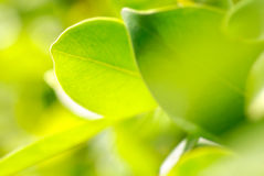 Rich foliage. macro shot, Royalty Free Stock Photo