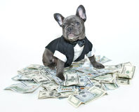 Rich Frenchbulldog Stock Image