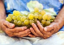 Rich grape produce held by an old woman hands royalty free stock image