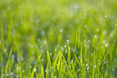 Rich green grass in droplets of dew in the morning sun light Royalty Free Stock Images