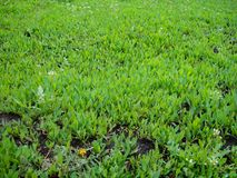 Rich green herbage. Young, bright, green and blooming grass Stock Photos
