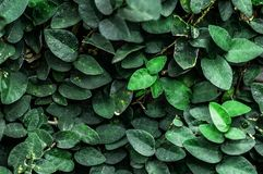 Rich Green abstract nature leaves background. Ficus pumila plant. Rich Green leaves background. Ficus pumila plant on the wall Royalty Free Stock Photos