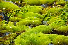 Rich green moss and small white flowers. Stock Photography