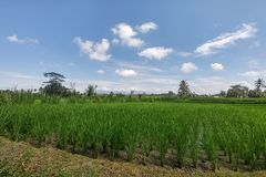Rich green rice stepped fields. Traditional Balinese rice terraces. Jungles at backdrop. Rich green rice stepped fields. Traditional Balinese rice terraces stock image