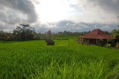 Rich green rice stepped fields. Traditional Balinese rice terraces. Wooden house at the right and jungles on background. Huge ubud region walking paths rainy royalty free stock photos