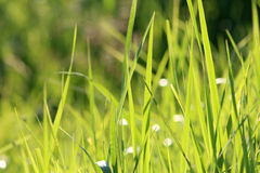 Rich green-yellow grass background Royalty Free Stock Images