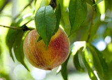 Rich and grub ( peach on a tree Royalty Free Stock Image