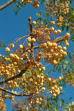 Rich harvest. A tree branch with clusters of fruits on a blue background royalty free stock photos