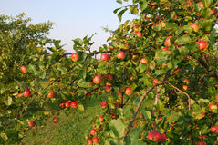 Rich harvest. Of red apples Stock Images