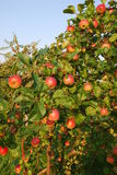 Rich harvest. Of a red apples Stock Image