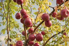 Rich harvest concept. Apples red ripe fruits on branch sky background. Apples harvesting fall season. Gardening and. Harvesting. Organic apple crops farm or stock image