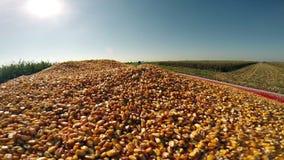 Rich Harvest of Golden Corn stock video footage