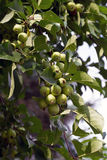 A rich harvest of green apples. Of paradise Royalty Free Stock Image