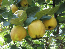 Rich harvest - juice ripe yellow quinces hanging on branch Stock Photo
