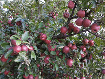 Rich harvest of juicy red apples on tree branch Stock Photos