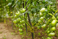 Rich Harvest Of Tomato Royalty Free Stock Image
