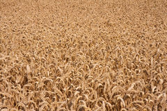 Rich harvest of ripe wheat. Close up of a rich harvest of ripe wheat, the Netherlands stock images