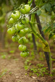 Rich harvest of tomatos Stock Images