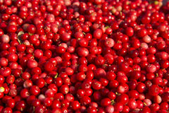 Rich harvest of wild cowberries. Stock Photos