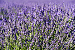 Rich lavender Royalty Free Stock Photo