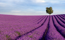 Rich Lavender Field With A Lone Tree Stock Photos