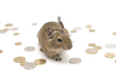 Rich mouse. Coins around mouse on white background Royalty Free Stock Photo