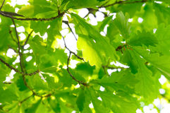 Rich oak foliage Royalty Free Stock Photos
