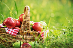 Rich organic apples in a basket outdoors. Autumn harvest of appl Royalty Free Stock Photos
