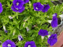 Rich pansy. Rich purple pansy bush surrounded with lush green leaves Stock Photography