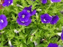 Rich pansy. Rich purple pansy bush surrounded with lush green leaves Royalty Free Stock Image