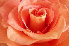 Rich Peach Rose. Close up of the twirling center of a deep peach colored rose stock images