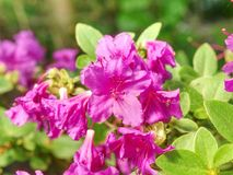 Rich pink azalea rhododendron bush with leaves in the japanese garden stock photo
