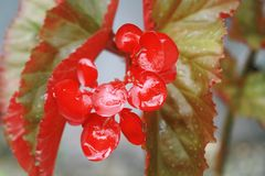 A rich red flower in a beautiful tropical garden. With raindrops after a tropical rainstorm Royalty Free Stock Photo