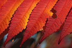 Rich red orange colored autumn leaves Stock Photography