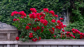 Rich red roses over wooden fence in front of old house covered with wild grape Royalty Free Stock Photo