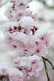 Rich sakura blossom under snow - 3 Royalty Free Stock Photos