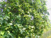Rich skördar, gröna äpplen på enträd filial Arkivbild