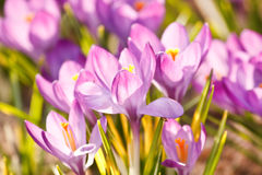 Rich spring flowers Royalty Free Stock Image
