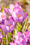 Rich spring flowers Royalty Free Stock Photo